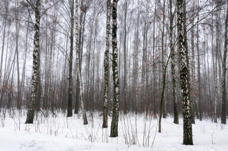 Birch forest in winter covered by snow