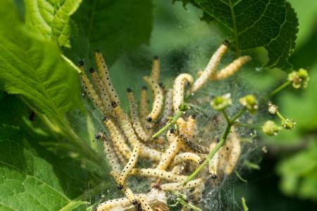 ermine: Colonia de Caterpillar en el �rbol verde. Agricultura plagas Yponomeuta malinellus (Apple polilla del armi�o). Foto de archivo
