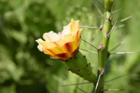 cactus species: Flor de cactus Opuntia phaeacantha es una especie de nopal tulip�n nopal o higo chumbo Sri Lanka