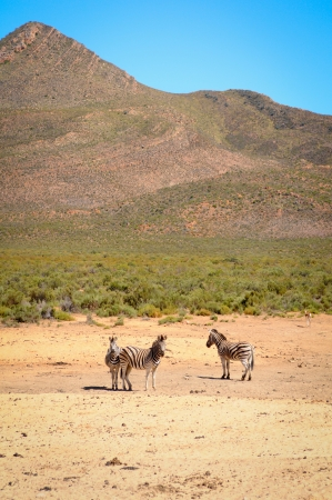 Three small zebra  in yellow savanna against the mountain photo