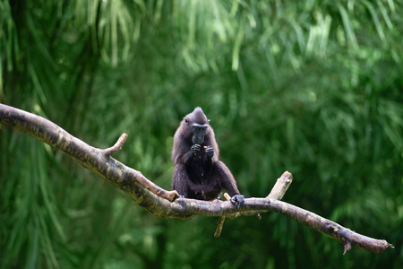celebes: Celebes crested macaque (Macaca nigra), also known as the crested black macaque, Sulawesi crested macaque, or the black ape sits on a tree branch. Stock Photo