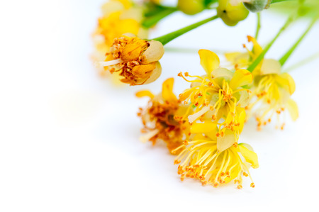 linden blossom: Linden flowers blossom cluster on a white background Stock Photo