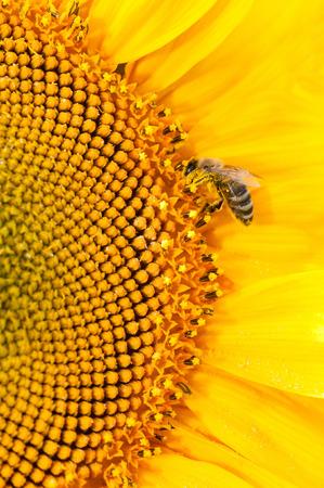 gathers: Honey bee gathers nectar on big nectariferous sunflowers flower