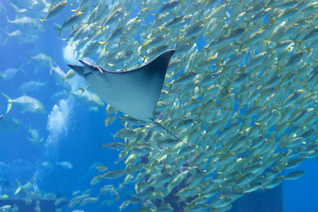 public aquarium: Eagle ray cruising past a dense school of sardines and other saltwater fish in an display tank at a popular public aquarium.