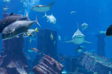 public aquarium: Sharks, eagle rays and other large species of saltwater fish populate an Atlantis themed tank display at a popular public aquarium.