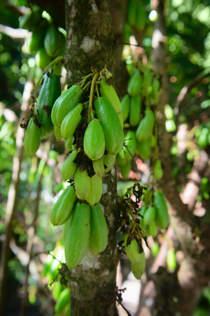clinging: Very sour, bright green Kamias fruit, popular in Southeast Asia, clinging to the trunk of a tropical cucumber tree.