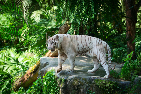 White tiger in green tropical forest jungle