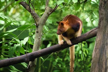 Goodfellows tree kangaroo (Dendrolagus goodfellowi) also called the ornate tree-kangaroo