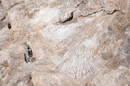 fossilized: Imprint of a coral or sea shell with long, streaked grooves, frozen and fossilized into a tropical beach rock. Stock Photo