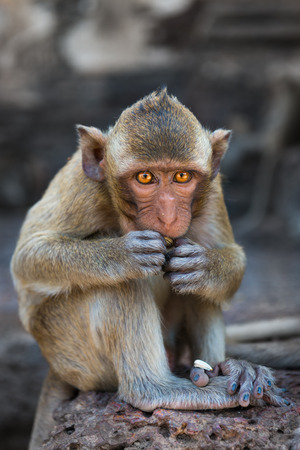 brown  eyed: Small brown eyed monkey with a cute face sitting and eating outdoors Stock Photo