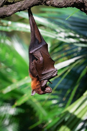 roosting: Exotic black and brown flying fox hanging upside down in a rainforest Stock Photo