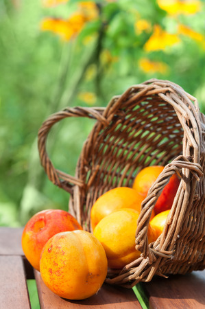 speckle: Ripe nectarines, with red and orange skin, sit in and in front of a wicker basket, with flowers in the background. Stock Photo