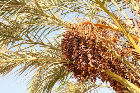 date fruit: Dense cluster of date fruit, clinging to the stalks of a palm tree on a sunny day. Stock Photo