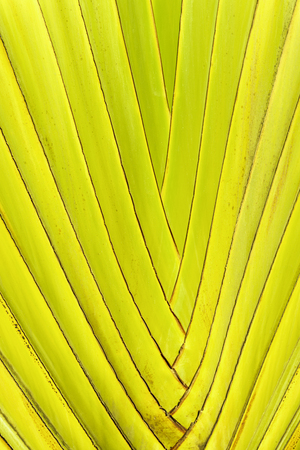 frond: Yellow and green tropical palm tree leaves close up with pattern background of madagascariensis palm leaf frond Stock Photo