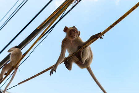 hairy arms: Cute agile long tailed monkeys hanging onto electric cables above with blue sky on background