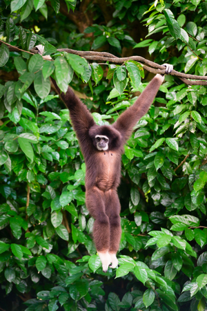 hairy arms: Endangered, cute, agile furry wild primate, Gibon hanging from a tree looking around