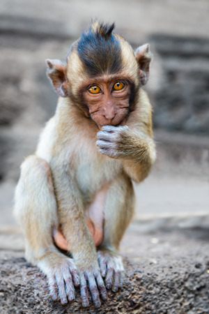 brown  eyed: Small brown eyed monkey looking in the camera with a cute face sitting and eating outdoors Stock Photo