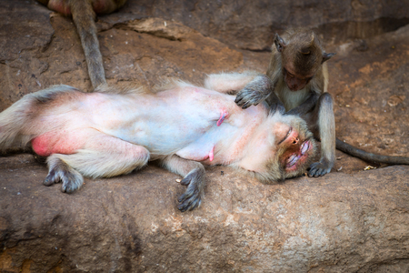 hairy arms: Cute baby monkey sitting and grooming its relaxed happy mother outdoors on the rocks