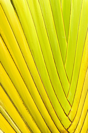 seemingly: Closeup image of the bright green, seemingly braided or interwoven stalks of a ravenala, or travellers palm.