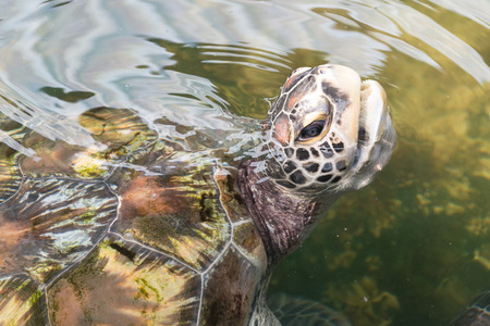 Sea turtle takes a breath on water surface
