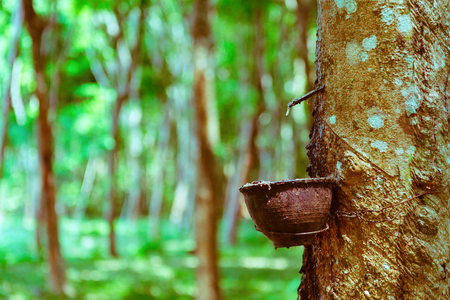 Latex extracted from rubber tree as a source for natural rubber production. With green forest on background.