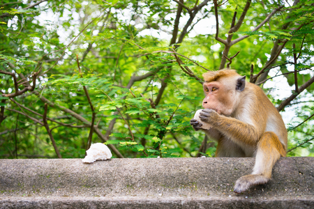 Adult temple monkey eat a piece of rice with green tropical tree on background Stock Photo
