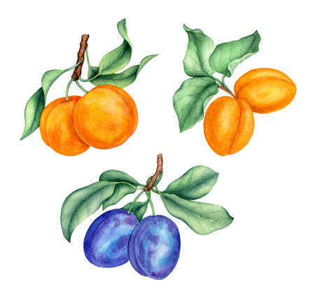 Vintage watercolor collection of peaches, apricots and plums