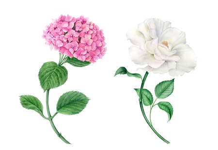 Vintage wateroclor collection of pink hydrangea and white rose