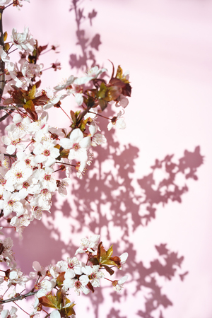 Blooming tree with white, pink flowers in morning sunshine and shadow, blurred sunlight. Soft focus. Spring blossom flower background. Easter sunny day. 免版税图像