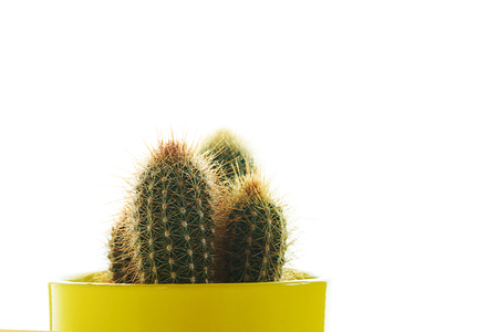 Cactus plant in yellow pot on white background, isolated. Minimal decoration style.