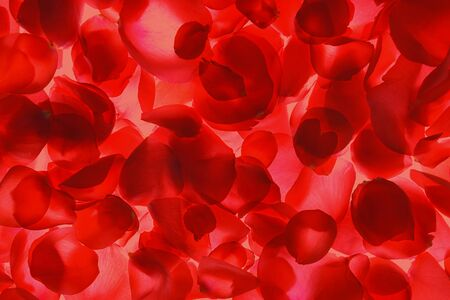 Red rose petals pattern on coral background, isolated. Flat lay, top view, copy space. Valentines day, party, wedding, holiday, romance beauty concept.