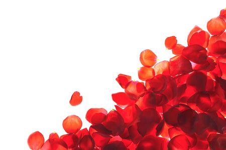 Red coral pink rose petals pattern on white background, isolated. Flat lay, top view, copy space. Valentines day, party, wedding, holiday, romance beauty concept.