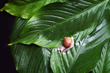 Snail on green leaves with rain drops background. Snail slime. Flat lay, top view, copy space. Beauty concept. Minimal natural layout. Standard-Bild