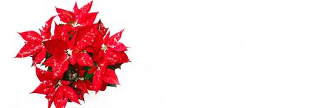 Christmas Poinsettia flower with red petals and falling snowflakes on white snow background. Merry Christmas and Happy New Year natural backgrounds concept. Stockfoto