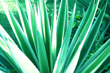 Abstract striped natural background. Details of variegated spanish dagger leaves - yucca gloriosa variegata.