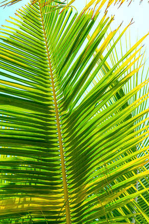 Beautiful tropical natural palm leaf background. Zanzibar island, Africa. Holiday concept.