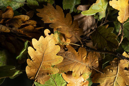 Autumn creative composition. Beautiful autumn leaves as background. Fall leaf. Flat lay, top view, copy space.
