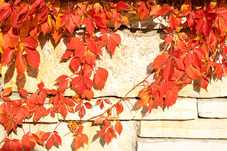 Autumn creative composition. Beautiful autumn leaves on wall background. Fall leaf. Copy space, front view.