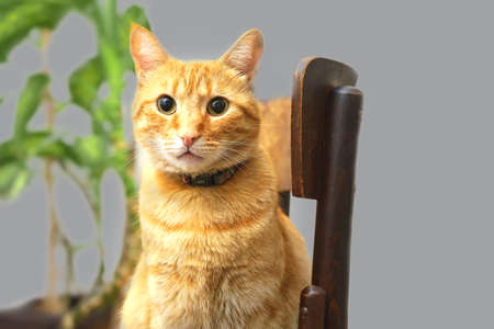 Cute orange cat sitting on wooden chair on gray background. Concept of Color of the Year 2021 with bright illuminating yellow and gray colours. Soft focus, isolated.