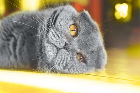 Gray British breed cat lying on the floor on sunlight. Scotish fold cat in home interiors. Concept of Color of the Year 2021 with bright illuminating yellow and gray colours. Soft focus, close-up. 版權商用圖片