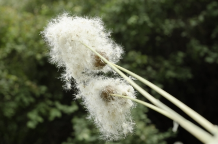 washed out: Sprigs of reed with a blossoming out fuzz on the washed out background  with  trees.