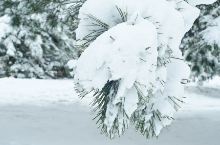 A pine branch is concealed by a snow cap, and under snow of drop of ice   Stock Photo - 17466702