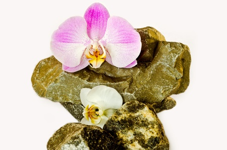 Tender orchids lie on wild natural stones on a white background. photo