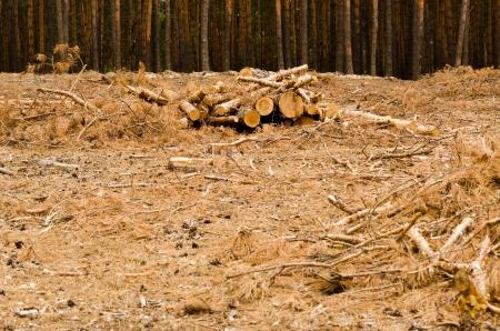 Heap of logs on felling of pine-wood. Stock Photo