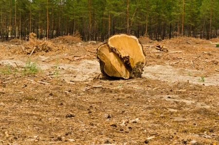 Enormous log on felling of pine-wood.