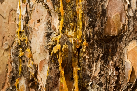 The drops of resin flow down on the bark of pine-tree a large plan.