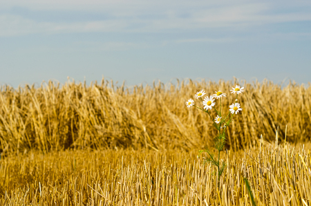white daisies in the wheat field