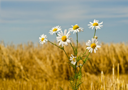 Bush of camomile on the wheat field.