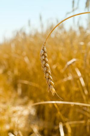 by cu: Ear of wheat by CU in the field.