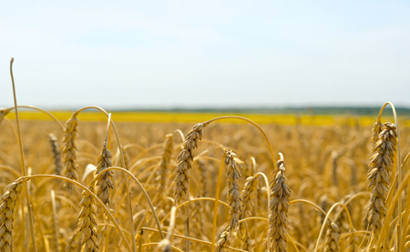 reaping: Wheat field before reaping.